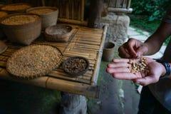 手举行Kopi Luwak,麝猫咖啡,有机未加工的咖啡豆 免版税库存图片