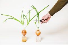 手人切开葱茎从电灯泡的 库存照片