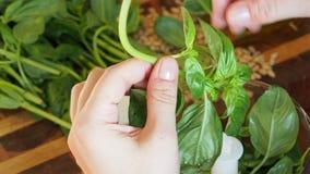 手从烹调的Pesto词根撕下新鲜的绿色蓬蒿叶子 股票录像