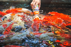 手保留瓶食物喂养鲤鱼、鲤鱼或者花梢鲤鱼,亦称花梢鲤鱼,黑鲤鱼 鲤鱼的一条淡水鱼我 图库摄影