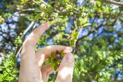 手和加州桂树 免版税库存图片