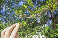 手和加州桂树 免版税库存照片