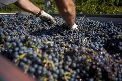 手和大量红葡萄酒葡萄 库存图片