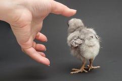 手和小鸡 免版税图库摄影