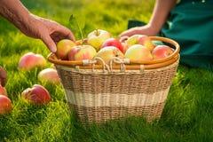 手和苹果篮子 图库摄影