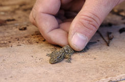 手和蜥蜴 库存图片