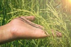 手和水稻 免版税图库摄影