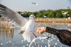 手哺养的海鸥 免版税图库摄影