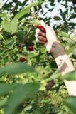 手在庭院拾起樱桃 免版税库存照片
