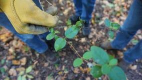 手套的花匠递拿着一个被切开的忍冬属植物藤 免版税图库摄影