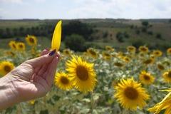 手扶的黄色向日葵叶子 免版税库存照片