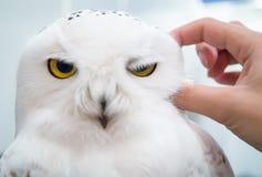 手抓放松在白色背景的极性猫头鹰 库存图片