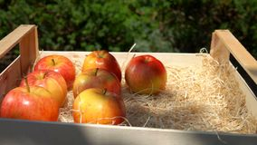手投入从一个木箱的水多的红色苹果 影视素材