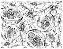 手拉在白色背景的葡萄柚果子 皇族释放例证