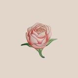 手拉由铅笔玫瑰色开花 库存照片