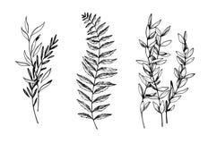 手拉的传染媒介例证 eucalyptu植物的分支  皇族释放例证