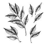 手拉的传染媒介例证-分支与叶子 花卉装饰要素许多设置了 库存例证
