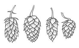 手拉的啤酒蛇麻草 向量例证