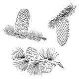 手拉的杉木锥体和落叶松属 剪影在白色隔绝的杉木锥体 免版税库存图片