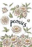 手拉的桃红色牡丹的传染媒介花卉收藏 图库摄影
