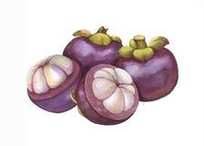 手拉的水彩热带水果例证,山竹果树果子,异乎寻常的果子,隔绝在白色背景 向量例证