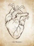 手拉的线艺术解剖上正确人的心脏 达芬奇速写在难看的东西年迈的纸背景的样式 向量 免版税库存图片