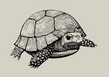 手拉的草龟 库存照片