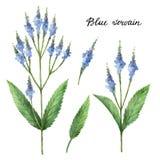 手拉的蓝色vervain的水彩植物的例证 皇族释放例证