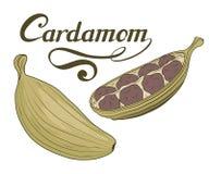手拉的豆蔻果实植物,辣成份,豆蔻果实商标,健康有机食品,在白色背景隔绝的香料豆蔻果实 皇族释放例证