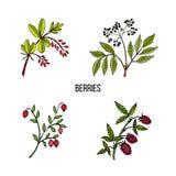 手拉的野生莓果植物的葡萄酒汇集 图库摄影