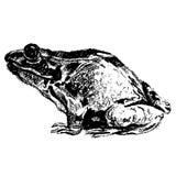 手拉的青蛙 库存图片
