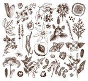 手拉的香料厂材料和成份的传染媒介汇集 葡萄酒套芳香植物,果子,花,种子,berri 皇族释放例证