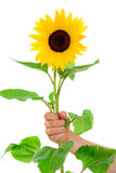 手拿着一个向日葵 库存照片