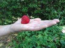 手拿着一个成熟草莓 免版税库存照片