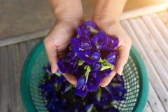 手拿着Clitoria ternatea或新蝴蝶豌豆花背景 库存照片