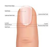 手指详述了在白色背景的钉子解剖学。指甲盖传染媒介。 免版税库存照片