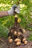 手用开掘的灌木土豆 库存图片