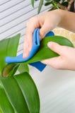 手由湿海绵的清洁植物 免版税库存图片