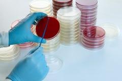手篡改做在培养皿的文化 图库摄影