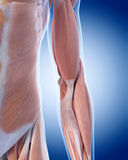 手肘解剖学 库存例证