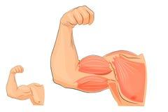 手,解剖学的肌肉 图库摄影