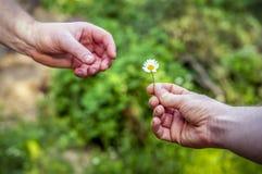手给一棵花春黄菊作为礼物,言情 免版税库存图片