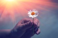 手给充满爱的一朵狂放的雏菊花在日落 友好的ges 免版税库存图片