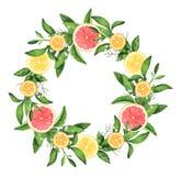 手画水彩柠檬和葡萄柚花圈 皇族释放例证