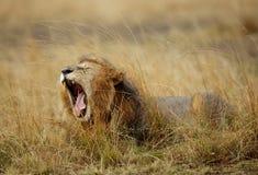 打呵欠一头公的狮子 免版税图库摄影