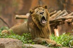 打呵欠公的狮子 库存图片
