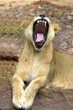 打呵欠凶猛的狮子 库存图片