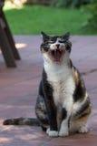打呵欠和显示牙的猫 免版税图库摄影