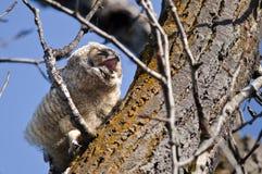 打呵欠和需要休息的可爱的幼小猫头鹰之子,当栖息在树时 免版税库存照片