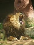 打呵欠国王的狮子 库存照片